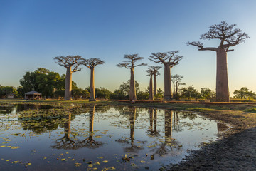 In de dag Baobab The famous Avenue of the Baobabs in Madagascar