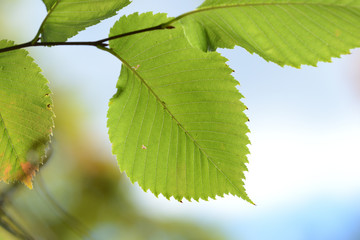 Green leaves of a linden lighted by the sun in an autumn park