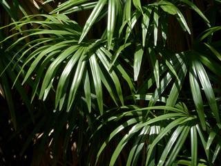 leaves green ( palm leaf )