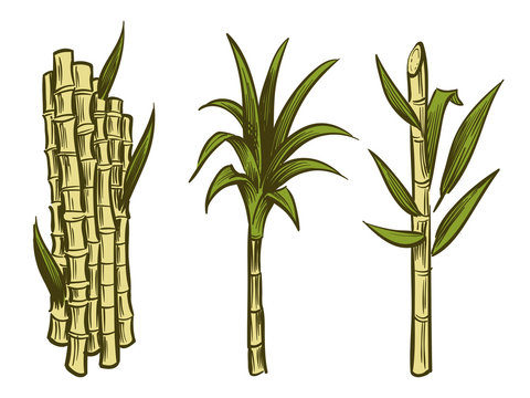 Sugar cane plants of collection isolated on white background. Vector illustration