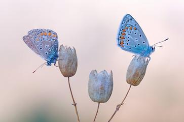Coppia di Argo azzurro (Polyommatus icarus)