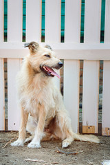 A barbarian shaggy dog of light color sits near a wooden fence in the street in the village. Vertical photography.