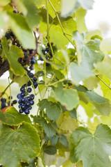 Blue grapes on vineyard. Blaue Weintrauben zwischen Blättern auf Weinstock.
