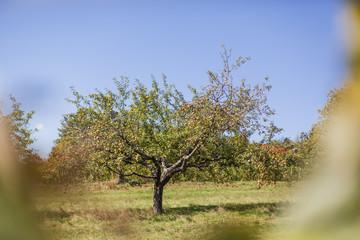 Apfelbaum auf Feld. Apple tree on field.