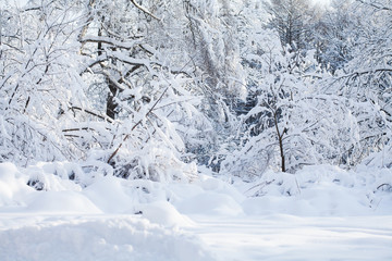 Beautiful winter forest landscape, cold weather scene, snow covered trees sunny day