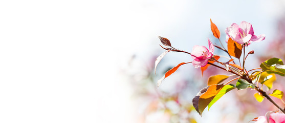 Spring nature landscape. Blossoming fruit tree branch in the garden, pink petal flowers in the rays of sunlight. Soft focus, beautiful bokeh. Copy space