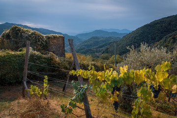 vineyards in tuscany, autumn