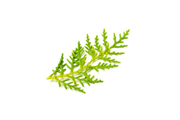green pine leaves and twig isolated on white background.