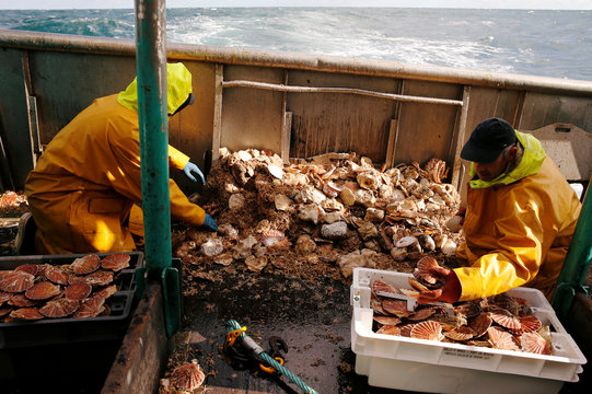 Fishermen sort scallops in boxes on the deck of Thierisa trawler during the start of the scallop fishing season, off Port-en-Bessin,