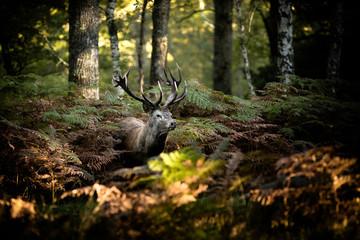Photo sur Plexiglas Cerf cerf brame chasse roi forêt cor mammifère animal sauvage fougère bois caché nature cervidé
