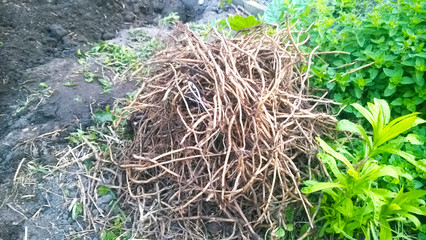 Wurzeln des Gierschs werden entfernt, Gartenarbeit, Unkraut, Giersch (Aegopodium podagraria)