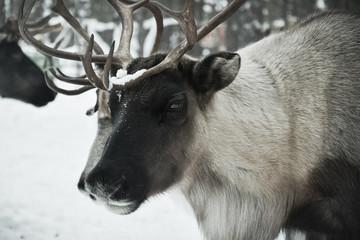 travel to reindeer herders