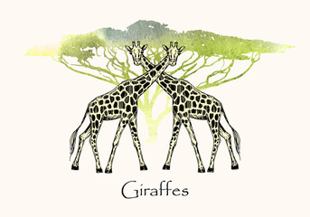 Vector illustration. Pen style drawn giraffes on watercolor style background. Watercolor safari tree silhouette.