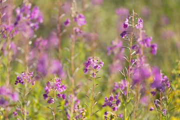flowers of Fireweed, Chamaenerion angostifolium on a sunny summer day