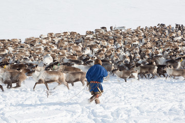 Nenets reindeer mans catches reindeers on a sunny winter day