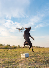 The Australian kelpie dog watches and chases the drone and tries to catch it