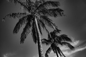 Tropical palms black and white