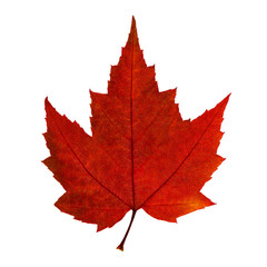 Autumn red maple leaf isolated on the white background
