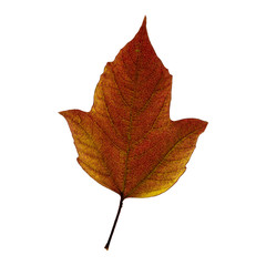 Autumn  brown maple leaf isolated on the white background. Fall leaves.