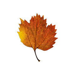 Autumn  yellow brown maple leaf isolated on the white background. Fall leaves.