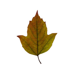 Autumn green  leaf isolated on the white background. Fall leaves.