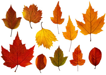 Set of fall leaves isolated on the white background