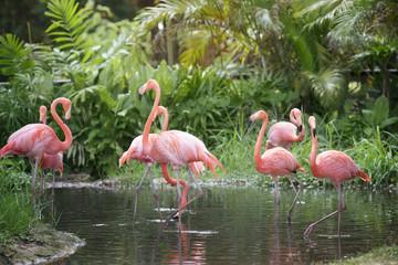 Garden Poster Flamingo Caribbean flamingo standing in water