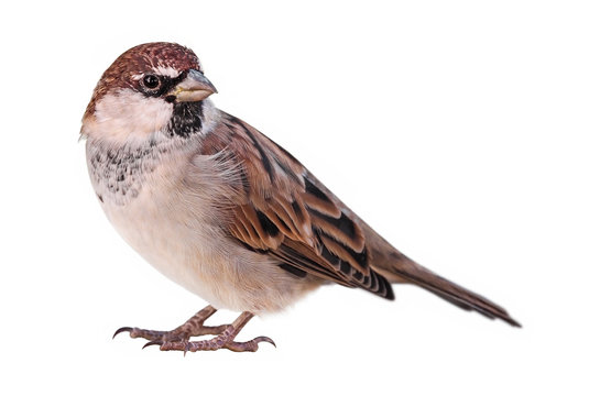 Sparrow (Passer italiae), isolated, with white background
