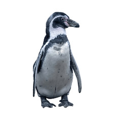 black and white arctic penguin stands with its head turned, isolated on a white background.