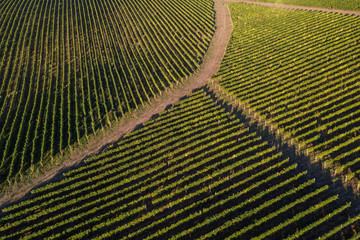 Papiers peints Vignoble Aerial view of vineyard sunny hills of grapes arrangement in a rows, agricultural background, drone shot