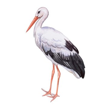 Stork white. Realistic bird isolated on white background. Watercolor. Template. Close-up. Clip art. Hand drawn