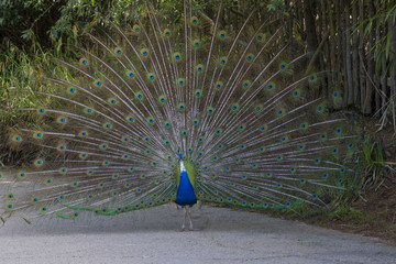 horizontal image of a male peacock that makes the wheel to show its colors