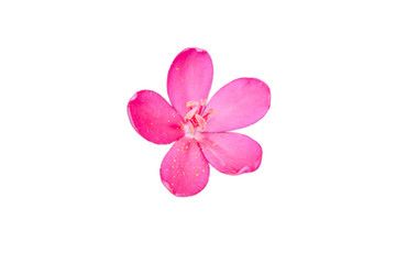 Pink flower on isolated white background