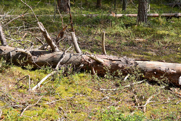 Trees broken by strong wind in the forest