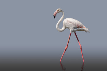 Flamingo bird walking isolated on grey. the legs are reflect in the still water