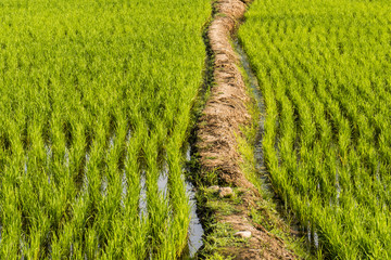 Paved path paved path Rice fields, terraces, plantation, farm. An organic asian rice farm and agriculture.