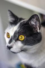Chat aux yeux jaunes