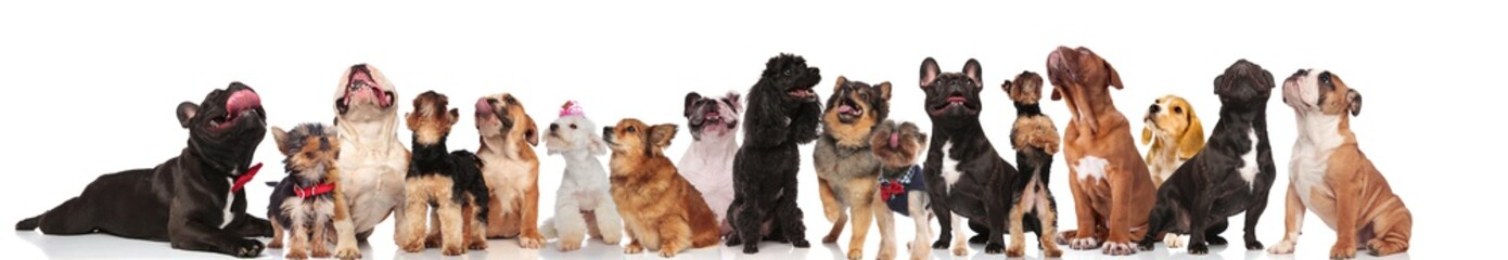 many curious dogs panting and looking up on white background