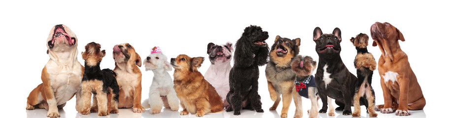 large group of panting dogs look up on white background