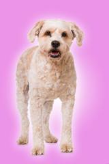 Mischlingshund auf rosa Hintergrund