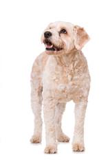 Stehender Mischlingshund sieht nach oben