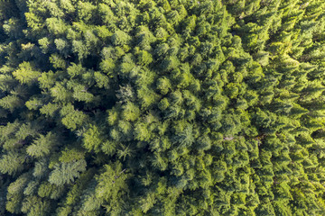 Aerial view of a pine forest in Canada