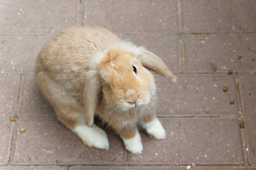 One brown rabbit on a brown paving slab background.