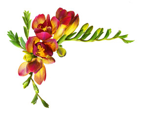 Fresh red freesia flowers and buds in a corner composition