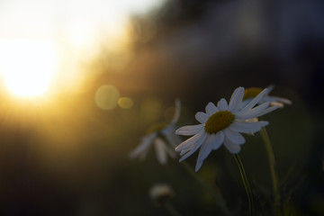 chamomile flower in the sun