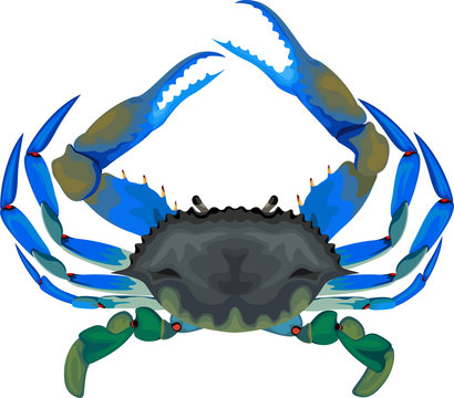 blue crab - vector illustration