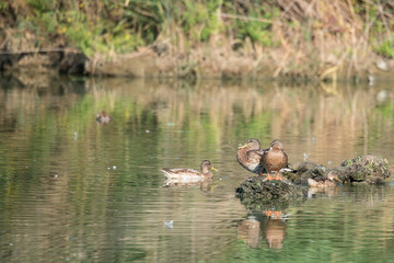 Ducks laid on an islet in the pond