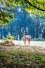 Fallow deer in Richmond park in the autumn, London