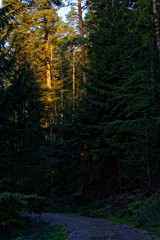 beautiful evening forest
