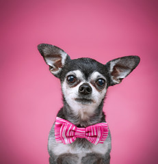 cute chihuahua with a bow tie on isolated on a pink background